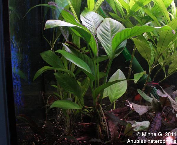 Anubiasheterophylla eli Kongonkeihäslehti