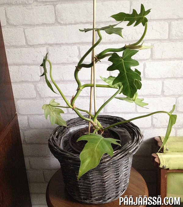 Philodendron radiatum köynnösvehka