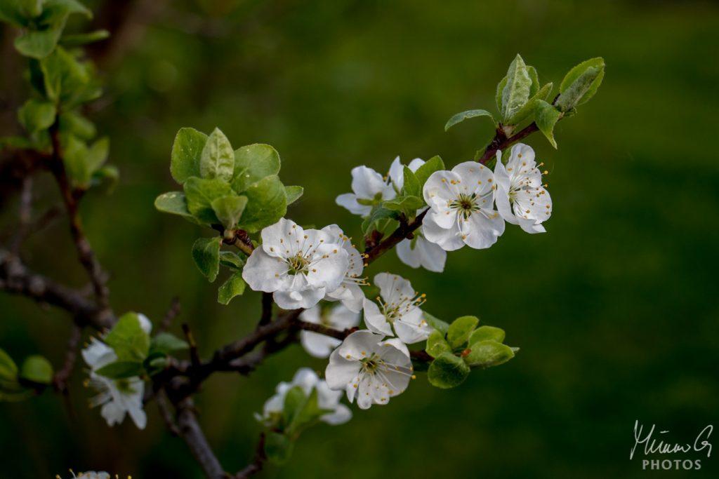 Luumupuu kukassa