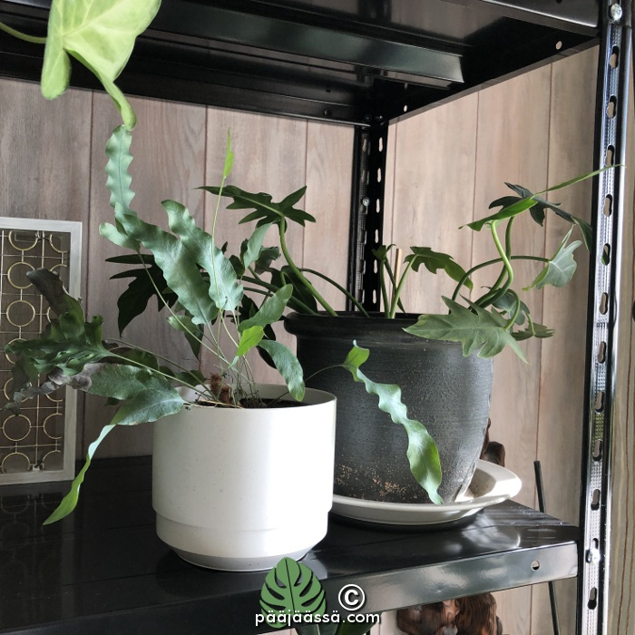 Huonekasvit kultaimarre ja sulkaköynnösvehka