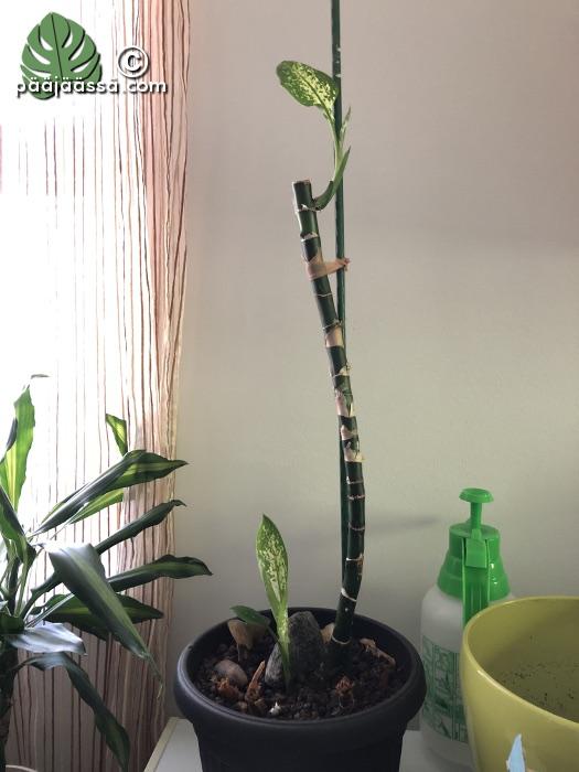 Helppohoitoinen huonekasvi, kirjovehka