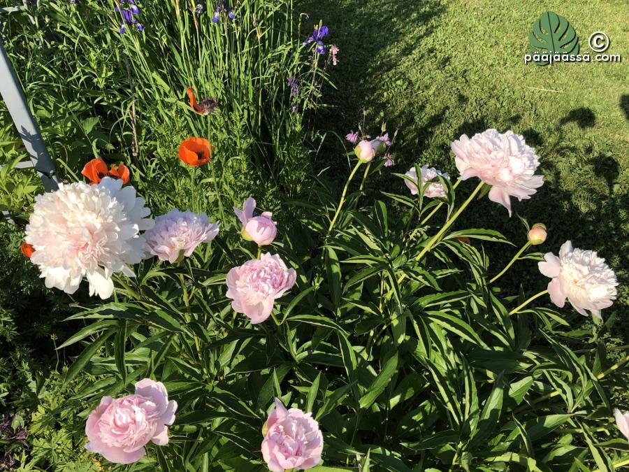 Pionin kauniit ja tuoksuvat kukat
