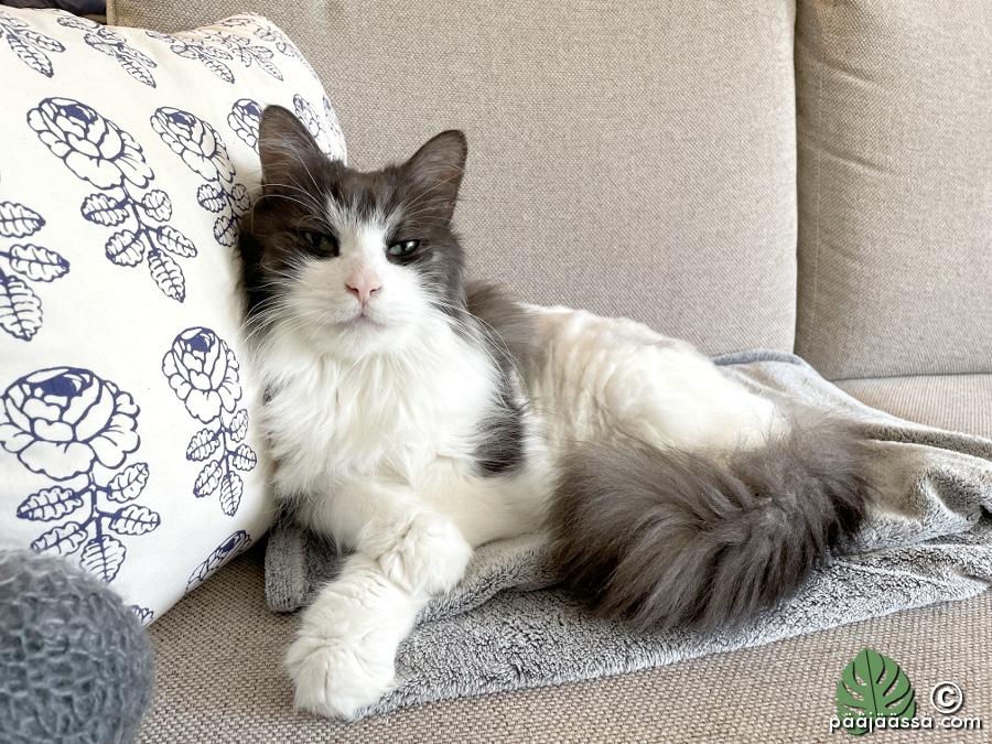 Kissa makaa sohvalla